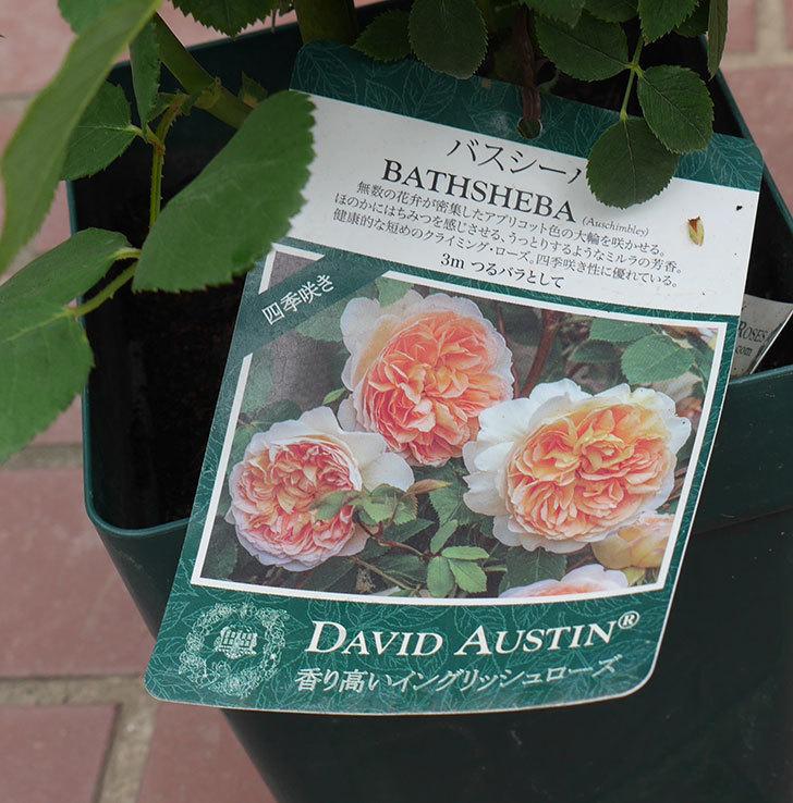バスシーバ(ツルバラ)の大苗(鉢植え苗)を楽天のバラの家で買った。2019年-3.jpg