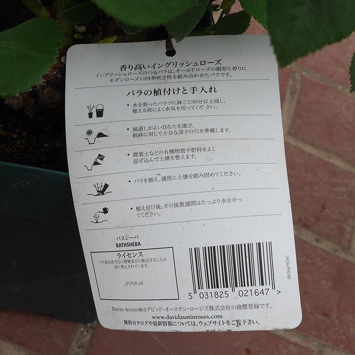 バスシーバ(ツルバラ)の大苗(鉢植え苗)を楽天のバラの家で買った。2019年-4.jpg