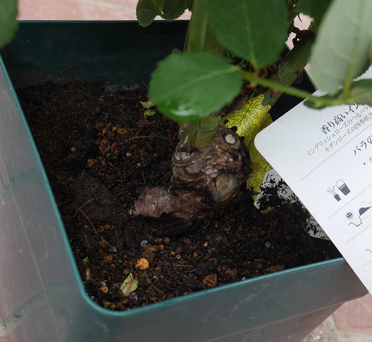 バスシーバ(ツルバラ)の大苗(鉢植え苗)を楽天のバラの家で買った。2019年-5.jpg