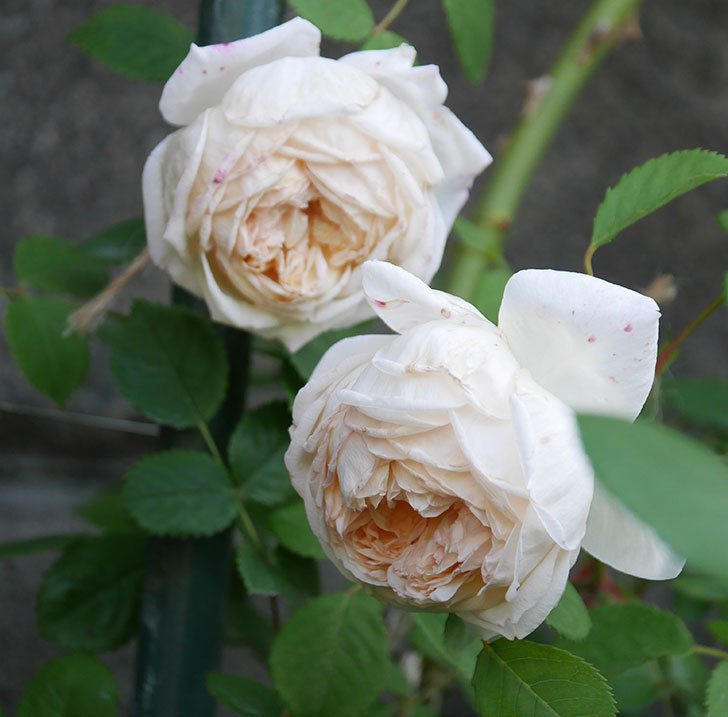 バスシーバ(ツルバラ)の花がたくさん咲いた。2020年-11.jpg