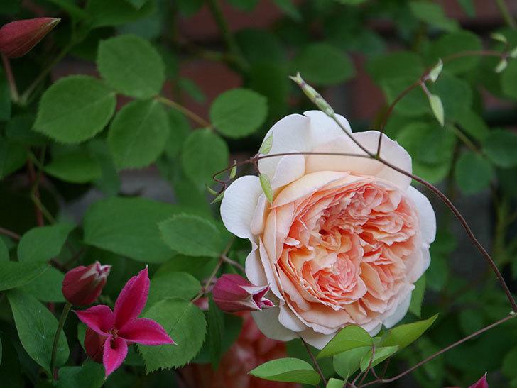 バスシーバ(ツルバラ)の花がたくさん咲いた。2020年-12.jpg