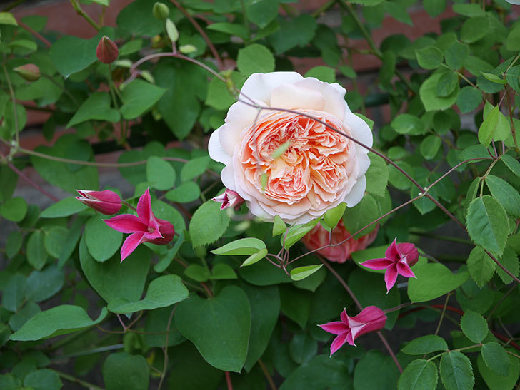 バスシーバ(ツルバラ)の花がたくさん咲いた。2020年-15.jpg