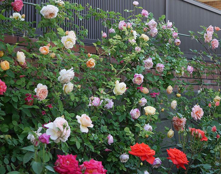 バスシーバ(ツルバラ)の花がたくさん咲いた。2020年-17.jpg