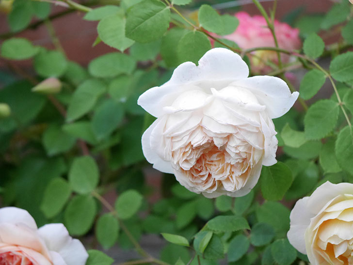 バスシーバ(ツルバラ)の花がたくさん咲いた。2020年-3.jpg