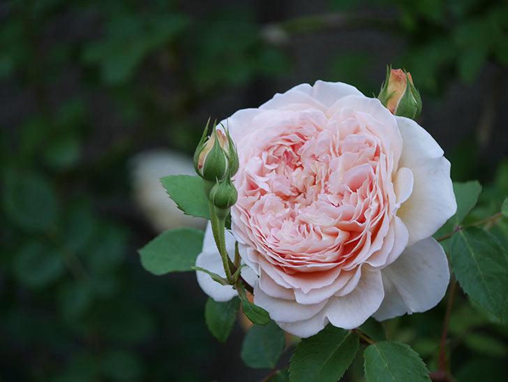 バスシーバ(ツルバラ)の花がたくさん咲いた。2020年-9.jpg