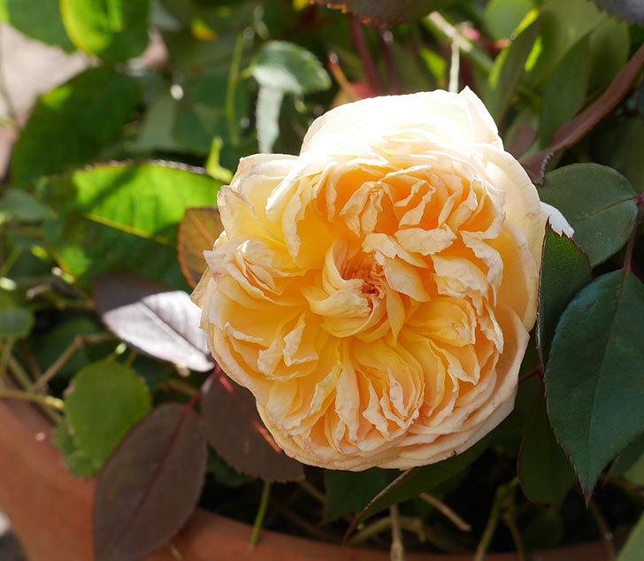 バスシーバ(ツルバラ)の花がまだ咲いている。2020年-1.jpg
