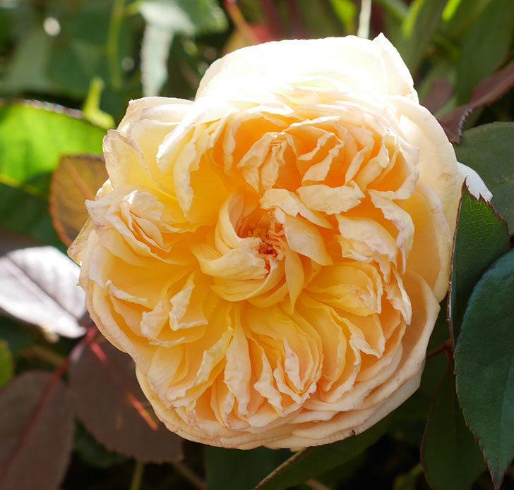 バスシーバ(ツルバラ)の花がまだ咲いている。2020年-2.jpg