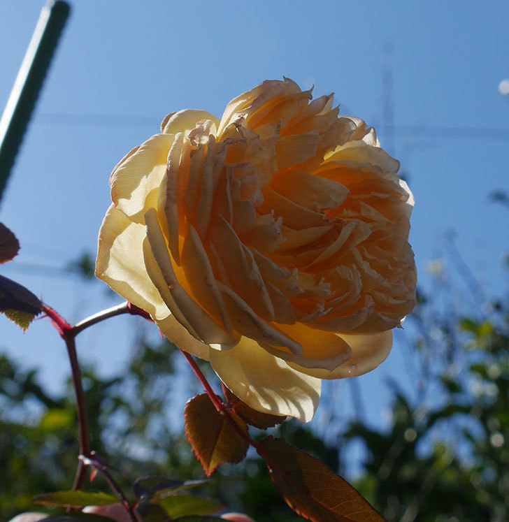 バスシーバ(ツルバラ)の花がまだ咲いている。2020年-3.jpg