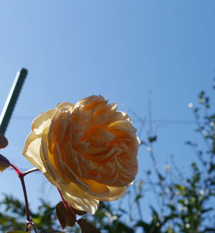 バスシーバ(ツルバラ)の花がまだ咲いている。2020年-4.jpg