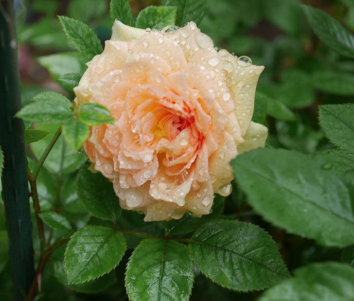 バスシーバ(ツルバラ)の花が咲いた。2019年-1.jpg