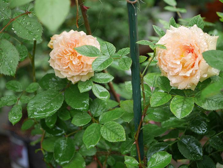 バスシーバ(ツルバラ)の花が咲いた。2019年-3.jpg