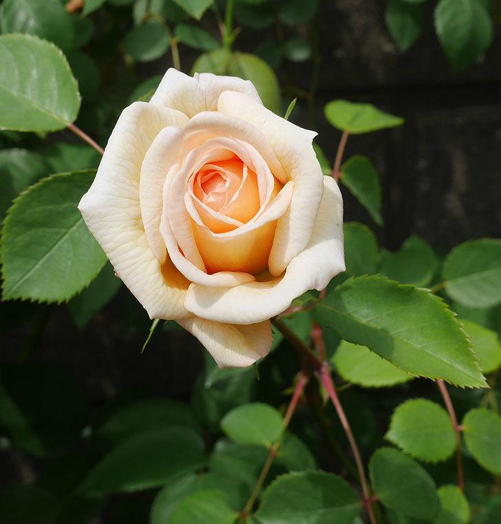 バスシーバ(ツルバラ)の花が咲いた。2020年-1.jpg