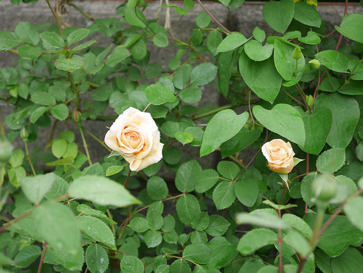 バスシーバ(ツルバラ)の花が咲いた。2020年-10.jpg