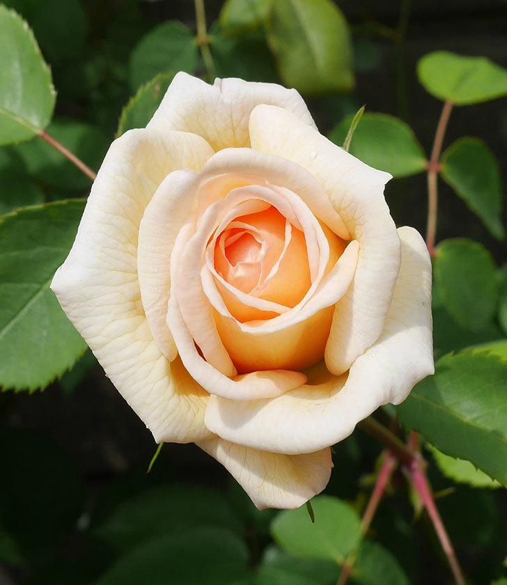 バスシーバ(ツルバラ)の花が咲いた。2020年-3.jpg