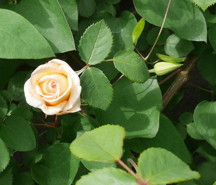 バスシーバ(ツルバラ)の花が咲いた。2020年-4.jpg