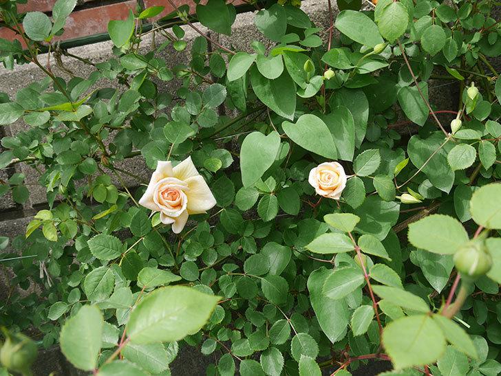 バスシーバ(ツルバラ)の花が咲いた。2020年-5.jpg
