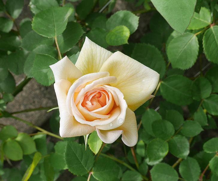 バスシーバ(ツルバラ)の花が咲いた。2020年-6.jpg