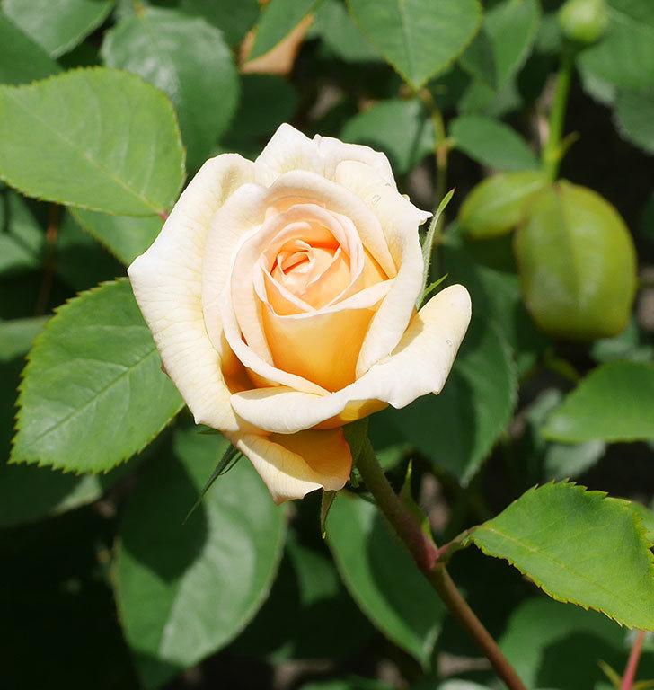 バスシーバ(ツルバラ)の花が咲いた。2020年-7.jpg