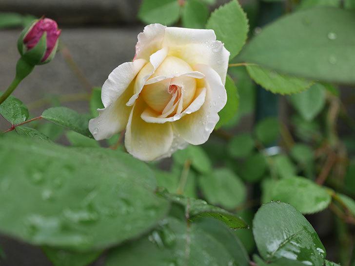 バスシーバ(ツルバラ)の花が咲いた。2020年-8.jpg