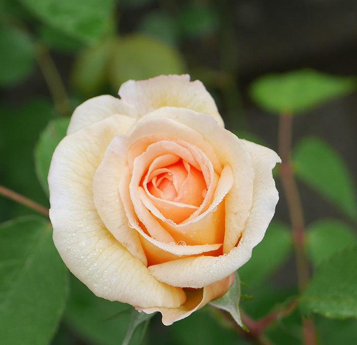 バスシーバ(ツルバラ)の花が咲いた。2020年-9.jpg