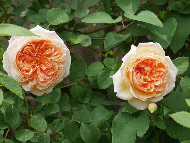 バスシーバ(ツルバラ)の花が増えてきた。2020年-1.jpg