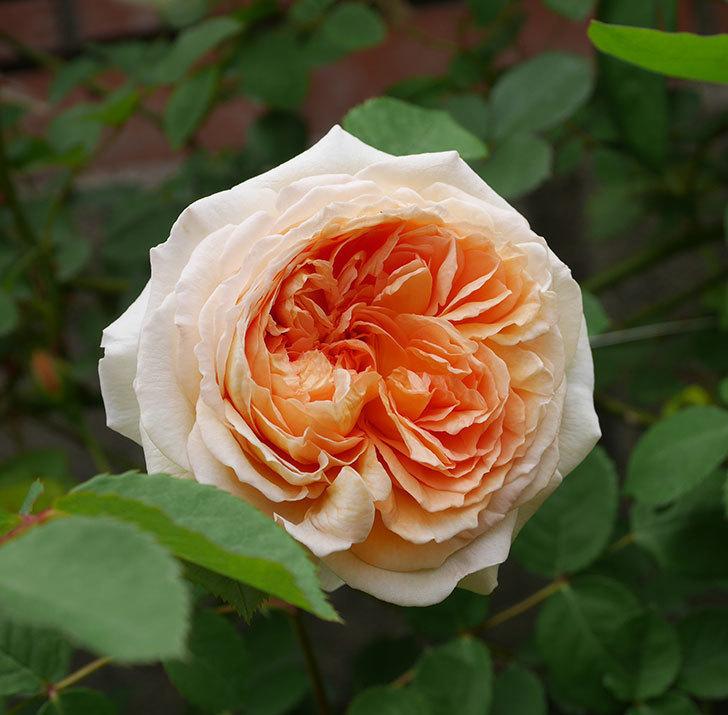 バスシーバ(ツルバラ)の花が増えてきた。2020年-10.jpg