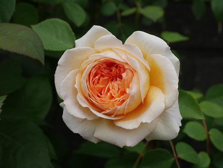 バスシーバ(ツルバラ)の花が増えてきた。2020年-11.jpg