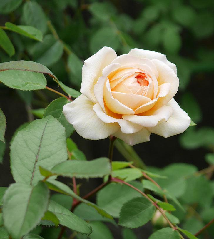 バスシーバ(ツルバラ)の花が増えてきた。2020年-12.jpg