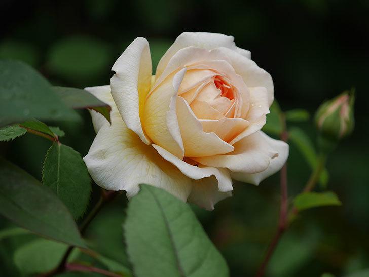 バスシーバ(ツルバラ)の花が増えてきた。2020年-13.jpg