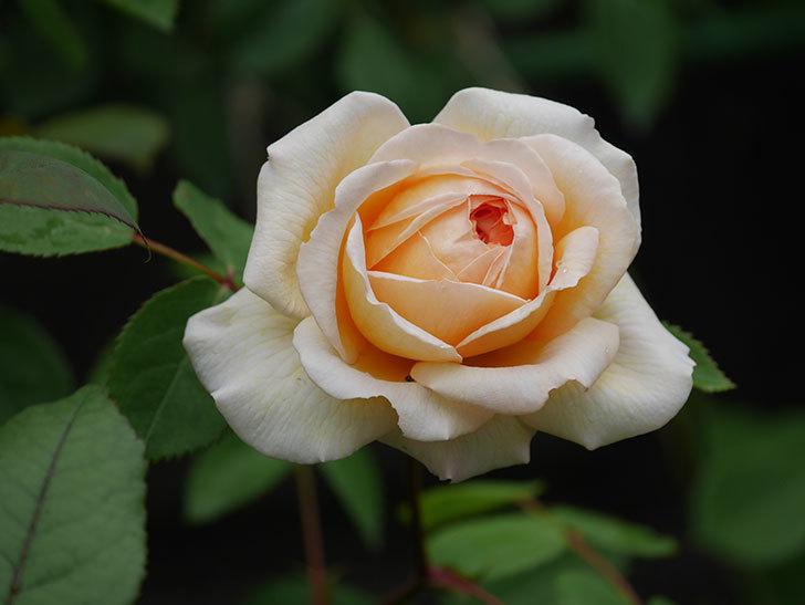バスシーバ(ツルバラ)の花が増えてきた。2020年-14.jpg