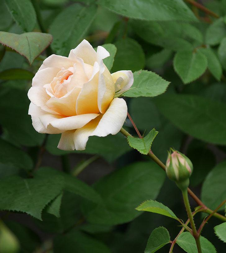 バスシーバ(ツルバラ)の花が増えてきた。2020年-15.jpg