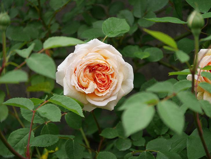 バスシーバ(ツルバラ)の花が増えてきた。2020年-16.jpg