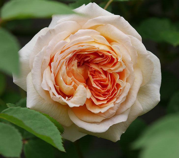 バスシーバ(ツルバラ)の花が増えてきた。2020年-17.jpg
