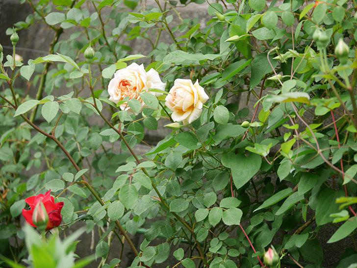 バスシーバ(ツルバラ)の花が増えてきた。2020年-18.jpg