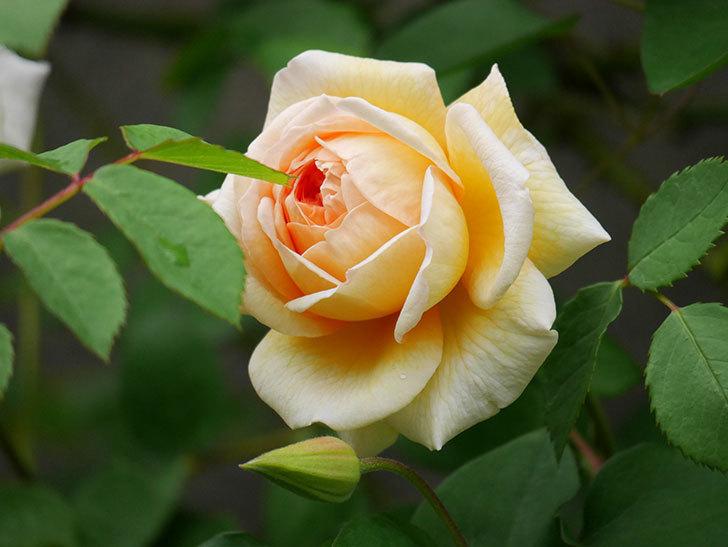 バスシーバ(ツルバラ)の花が増えてきた。2020年-19.jpg
