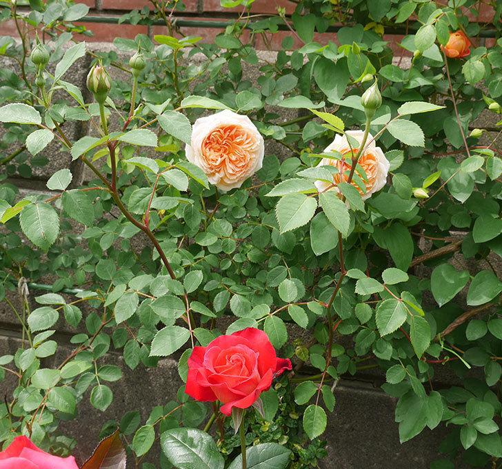 バスシーバ(ツルバラ)の花が増えてきた。2020年-2.jpg