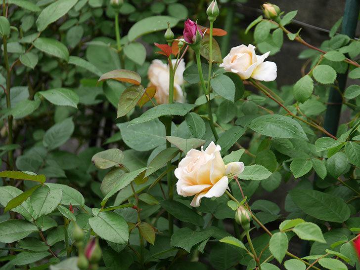 バスシーバ(ツルバラ)の花が増えてきた。2020年-20.jpg