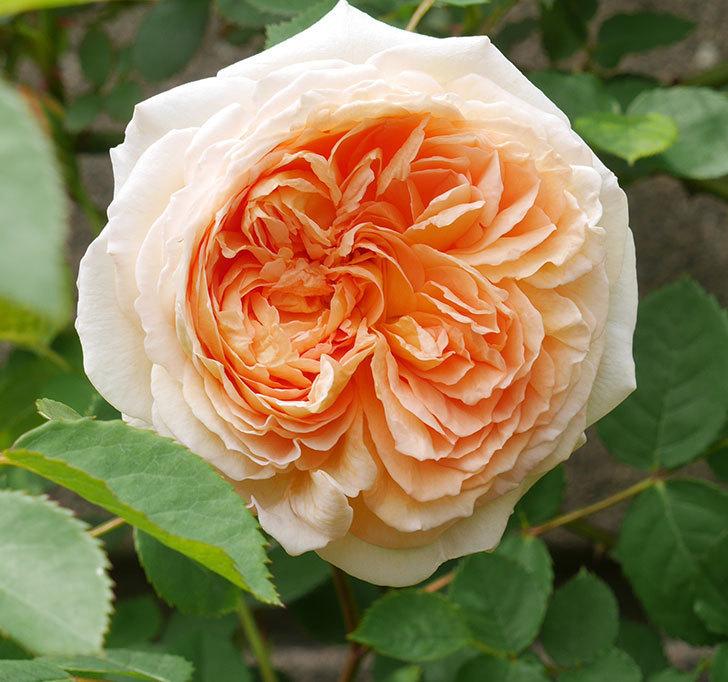 バスシーバ(ツルバラ)の花が増えてきた。2020年-3.jpg