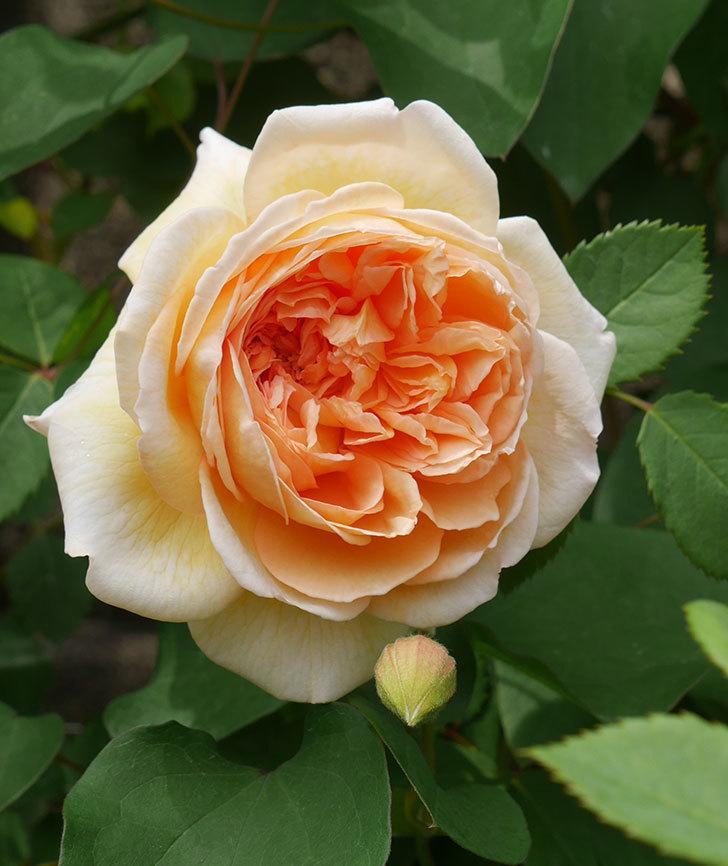 バスシーバ(ツルバラ)の花が増えてきた。2020年-4.jpg