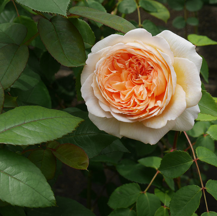 バスシーバ(ツルバラ)の花が増えてきた。2020年-5.jpg
