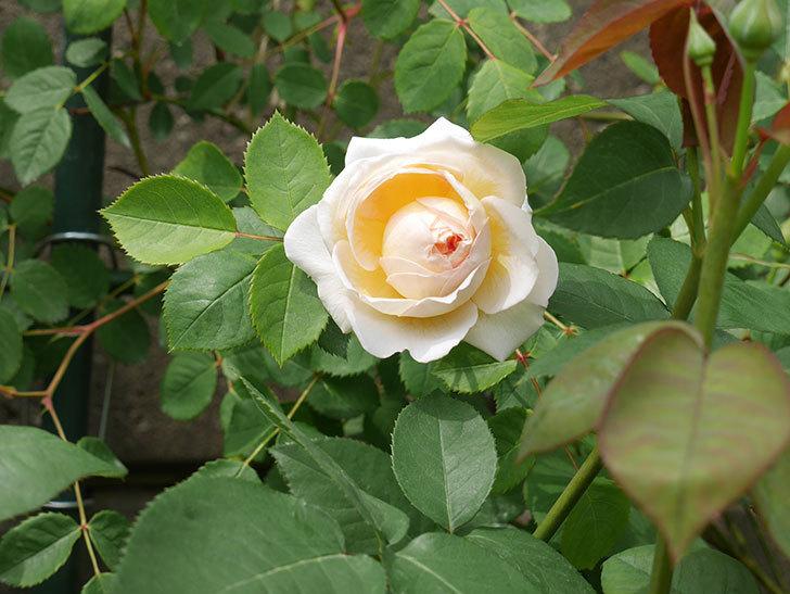 バスシーバ(ツルバラ)の花が増えてきた。2020年-6.jpg