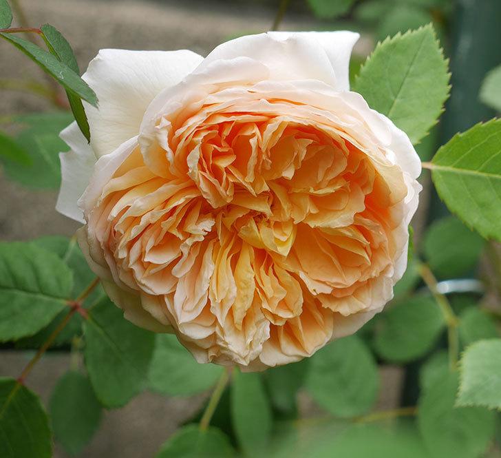 バスシーバ(ツルバラ)の花が増えてきた。2020年-7.jpg