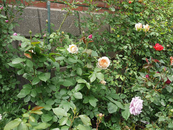 バスシーバ(ツルバラ)の花が増えてきた。2020年-8.jpg