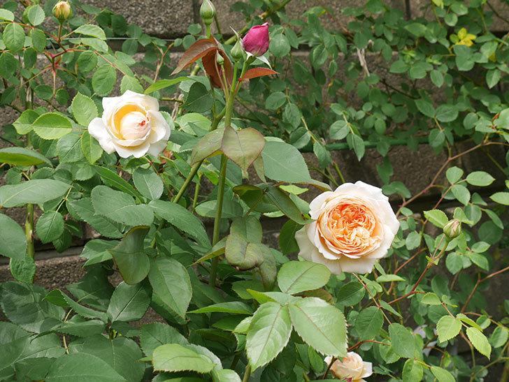 バスシーバ(ツルバラ)の花が増えてきた。2020年-9.jpg