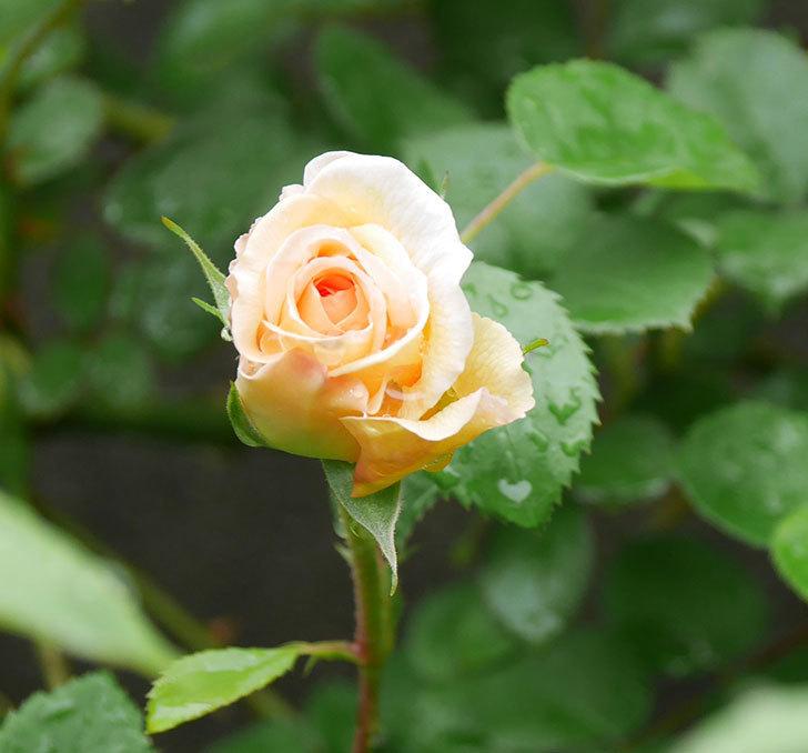 バスシーバ(ツルバラ)の花が少し咲いた。2020年-1.jpg