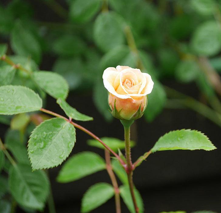 バスシーバ(ツルバラ)の花が少し咲いた。2020年-3.jpg