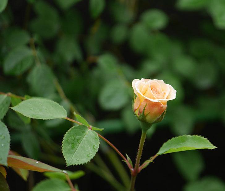 バスシーバ(ツルバラ)の花が少し咲いた。2020年-5.jpg