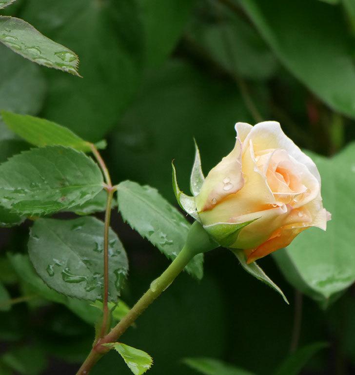 バスシーバ(ツルバラ)の花が少し咲いた。2020年-6.jpg