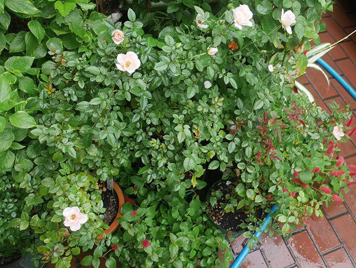 バラに殺菌剤(サンヨール)と殺虫剤(ダントツ水溶剤)を撒いた。2018-17.jpg