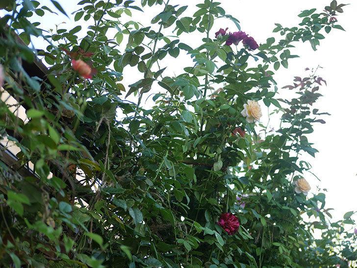 バラに殺菌剤(ジマンダイセン)と殺虫剤(カウンター)を撒いた。2021-19-1.jpg